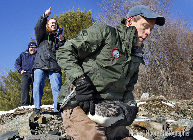 John Cooley, of Moultonborough, senior biologist with the Loon Preservation Committee, walks down the rocky slope to the waters edge at Fort McClary in Kittery Point, Maine, to release the loon rescued from Highland Lake. In the background, Maria Colby, of Wings of the Dawn wildlife rehabilitation center in Henniker, takes pictures with a cellphone. Colby nursed the loon back to health when it was found to have lead poisoning.