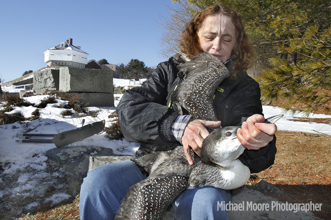 Maria Colby, of Wings of the Dawn wildlife rehabilitation center in Hennike, gains control of a loon rescued from a Rochester residents yard before banding and release at Fort McClary State Park in Kittery Point, Maine, on Sunday.